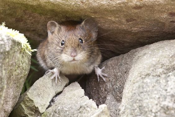 Norway Rat Images